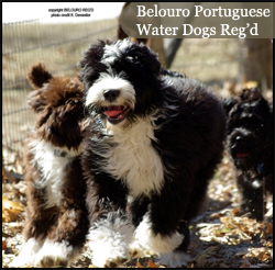 Belouro Portuguese Water Dogs