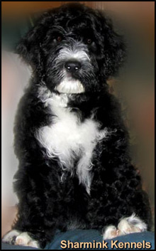 Sharmink Portuguese Water Dogs