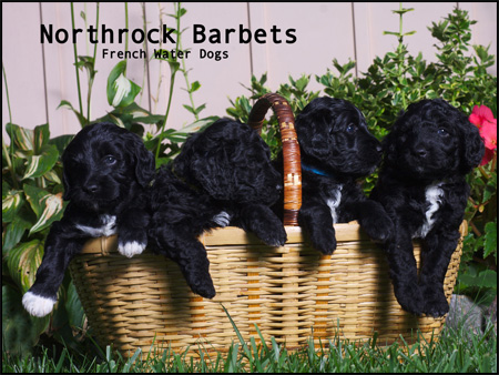 Northrock Reg'd Barbets - French Water Dogs