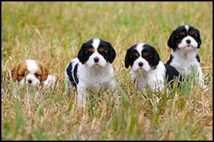 Cavalier Breeders - Cedar Creek Kennels