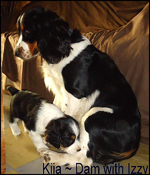 English Springer Spaniel Breeders - Canada's Guide to Dogs