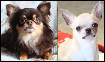 Chihuahua Breeders - Canada's Guide to Dogs