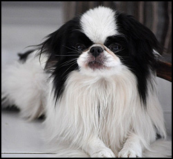 Japanese Spaniel - Chin, Photo courtesy of Chyoko Chin