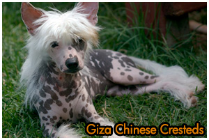 Giza Chinese Cresteds Reg'd