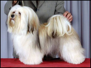 Havanese Breeders - Canada's Guide to Dogs