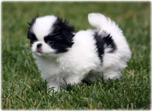 Wickenfen Japanese Chin