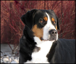 Swiss Mountain Dog Breeders Canada