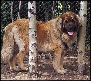 Country Hills Leonbergers