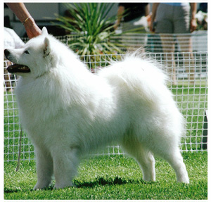Winterdance Samoyed Registered