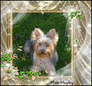 Yorkshire Terrier Breeders Canadas Guide To Dogs Yorkshire Terriers