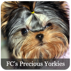 FCs Precious Yorkies - Featured Breeder