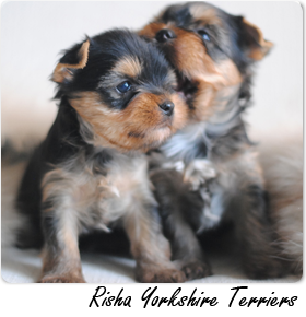 Featured Breeder - Risha Yorkshire Terriers
