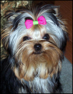 Yorkshire Terrier Breeders - Canada's Guide to Dogs