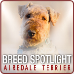 Airedale Terrier Breed Spotlight