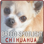 Breed Spotlight: Meet the Chihuahua