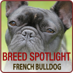 Breed Spotlight: Meet the French Bulldog