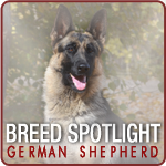 German Shepherd - Spotlight Breed