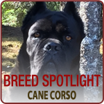 Meet the Cane Corso