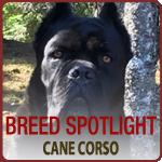 Meet the Cane Corso