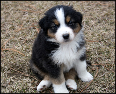 Australian shepherd breeders canadas guide to dogs australian soleil australian shepherds puppies available malvernweather Images