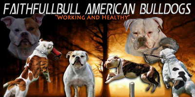 American Bulldog Breeders - Canada's Guide to Dogs - Working