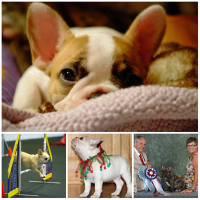 French Bulldog Breeders - Canada's Guide to Dogs - French