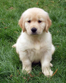 Golden Retriever Puppies For Sale Kitchener