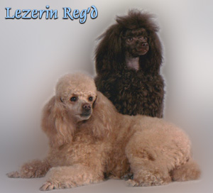 Miniature Poodle Breeders - Canada's Guide to Dogs - Poodle