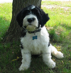 Small Portuguese Water Dog For Sale