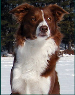 Collie Dogs For Sale In British Columbia