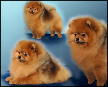 Pomeranian Breeders - Canada's Guide to Dogs - Toy Breeds